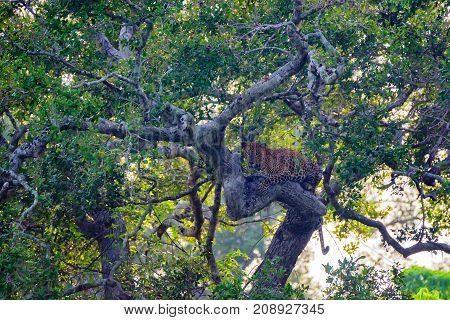Asian leopard or Panthera pardus kotya rest on a tree, National park Yala, Sri Lanka
