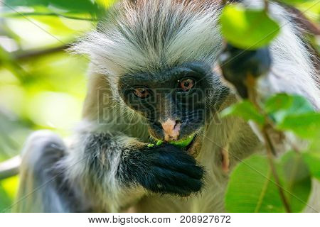 Zanzibar red colobus or Procolobus kirkii in Jozani forest, Tanzania. Monkeys in the jungle