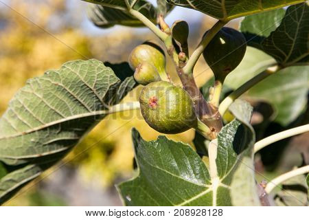 A young fig on a branch with a group of other figs and green leaves in the sunshine.