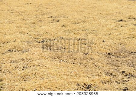 dry yellow straw spread on the ground