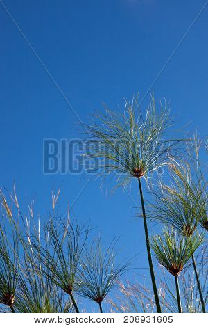 A group of tropical grass heads glowing in the sunlight against a blue sky background.
