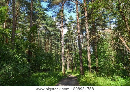 Pine forest. summer. near Moscow