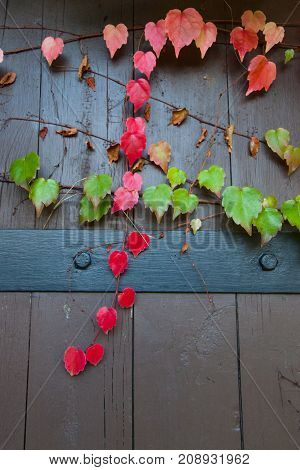 A crossing of red leaves on a vine and green leaves on a vine clinging to a brown door with a black metal band.