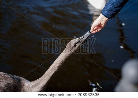 Swans take food from human hands. Beautiful swans swim in the lake.