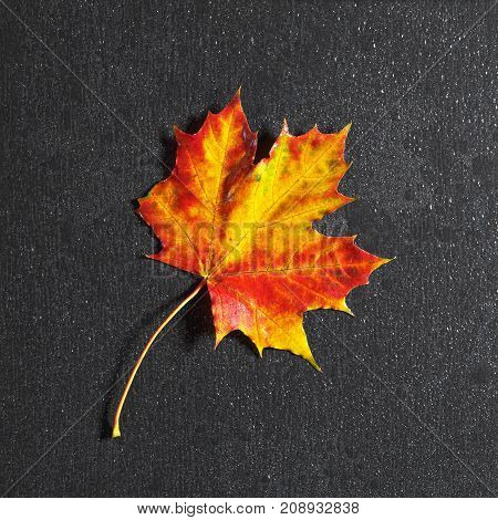 Autumn maple leaf and water drops on black stone background top view