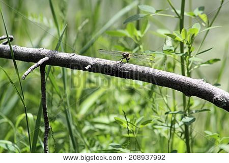 Dragonfly perched on a tree branch in a small field