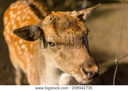 muzzle of angry deer with big ear