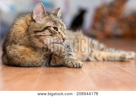 Gray adult cat lies on the floor and licks the paws