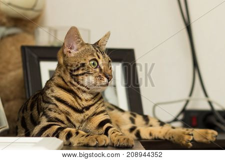 Bengal cat breed at the age of 5 months of lying on the bedside table