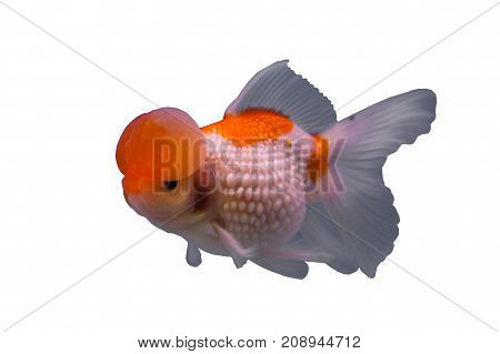 Bubble pearl scales goldfish in a white background