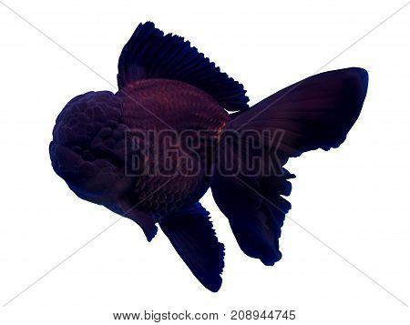 Black oranda goldfish isolated in a white background