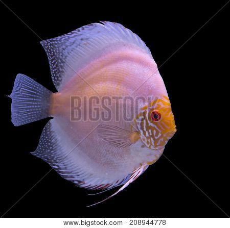 White butterfly discus fish isolated in a black background