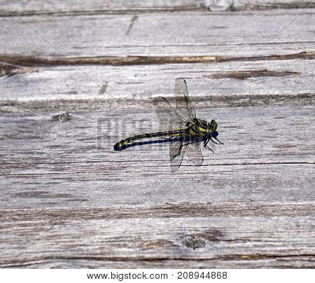 large dragonfly with green eyes on wood dock