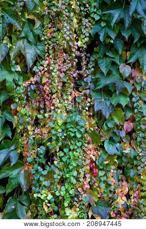 Long trails of fall ivy hanging on a wall displaying bright colors in different shapes and sizes.