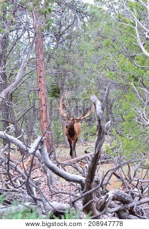 Full view of a Roosevelt wapiti with velvet covered antlers
