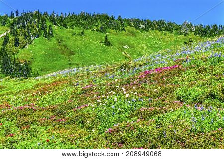 Pink Heather Blue Lupine Red Paintbrush Green Mountain Wildflowers Mount Rainier National Park Paradise Pacific Northwest Washington State