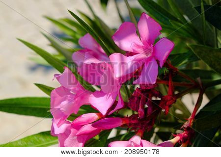 Beautiful shrub with blooming flowers, closeup