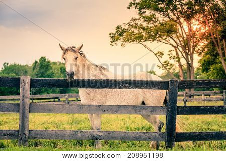 Beautiful gray horse standing by the fence on a horse farm in Kentucky