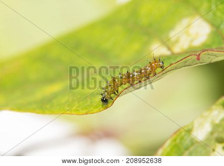 Two day old Gulf Fritillary caterpillar walking on a passion flower leaf, side view