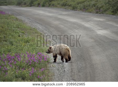 Grizzly Bear crossing in Denali National Park Alaska