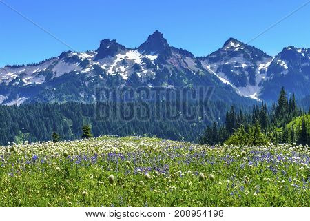 American Bistort Lupine Wildflowers Tatoosh Range Snow Mountains Paradise Mount Rainier National Park Washington Snow Mountain