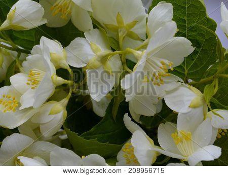 Jasmine spring flowers pattern texture garden summe