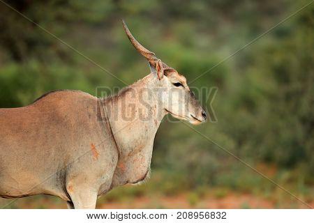 Portrait of a large male eland antelope (Tragelaphus oryx), South Africa