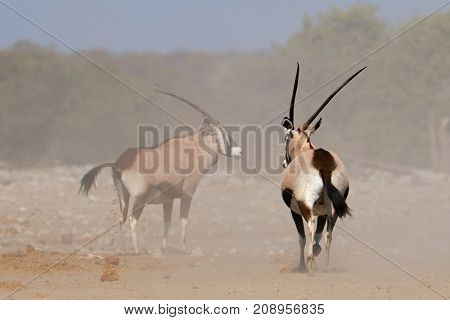 Two gemsbok antelopes (Oryx gazella) in dust, Etosha National Park, Namibia
