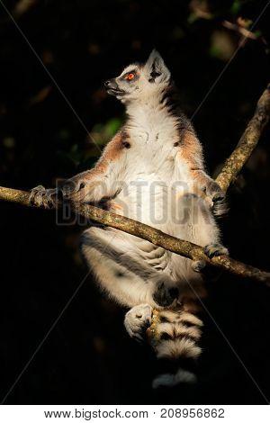A ring-tailed lemur (Lemur catta) sitting in a tree, Madagascar