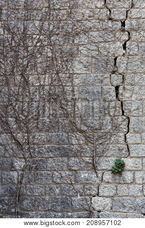 Very old stone wall with remains of dried dead ivy climbing on it. New green bush sprouts in a crack. Triumph of life concept. The picture was taken in medieval fortress. Vertical orientation.