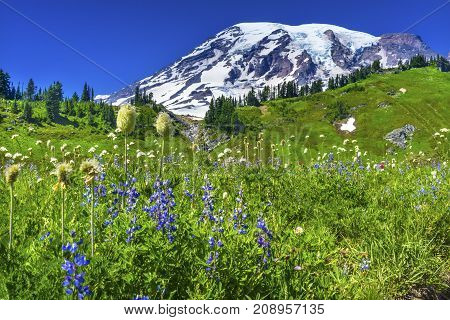 White American Bistort Blue Lupine Wildflowers Mount Rainier Snow Mountain Paradise Mount Rainier National Park Washington