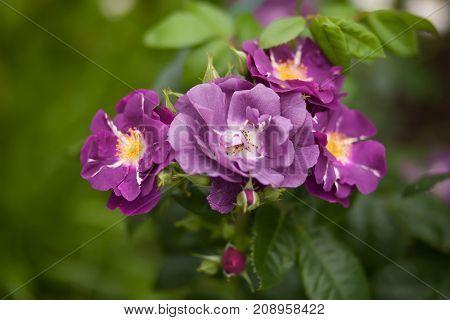 Blue boy rose bloomig. Rare lilac purple flowers.