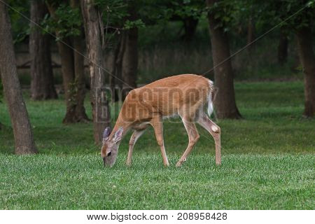 Whitetail doe deer grazes in a grassy area with trees behind her