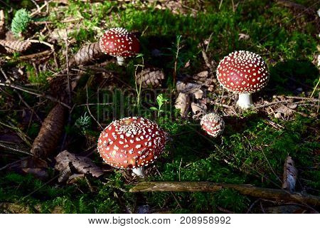 Amanita muscaria, commonly known as the fly agaric or fly amanita in the forest in Berikon, Aargau,  Switzerland, close up