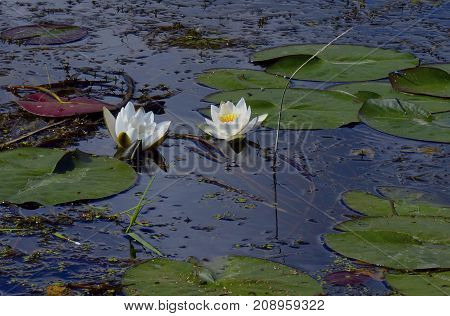 white water Lily in the pond in the summer in the spring