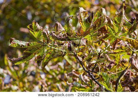 Chesnut Tree. Autumn. Fall Scene. Beauty Nature Scene Trees And Leaves. Nature Background. Selective