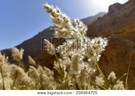 Catkins flowering bulrush in Ein Gedi National park Israel.