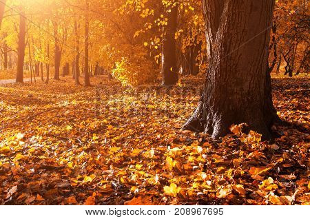 Autumn forest landscape. Fallen autumn leaves covering the ground and forest autumn trees under soft sunlight -autumn forest landscape scene. Autumn trees in the autumn forest. Colorful autumn landscape