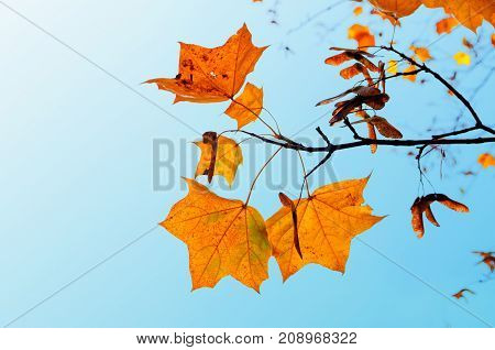 Autumn background. Orange maple autumn leaves on the background of blue sky with copy space. Autumn background with autumn leaves. Colorful autumn landscape background. Autumn nature