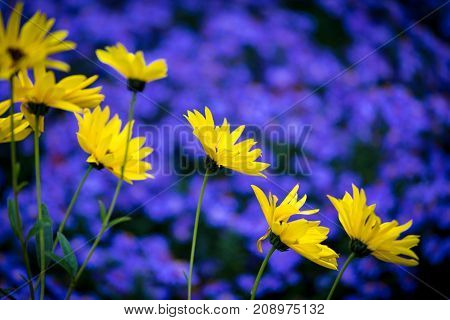 Yellow daisy flowers with background of purple blue aster flowerbed, empty space for text