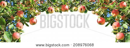crop of red ripe apples on an apple-tree in garden. harvesting fruits apples in orchardpanorama. panoramic view. fruit apples isolated on white background