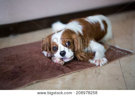 Room Dog King Charles Spaniel With It Is Red - A White Color Gnaws A Bone.