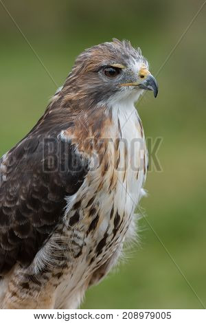 Close up three quarter length portrait of a red tailed hawk looking to the right in upright vertical format