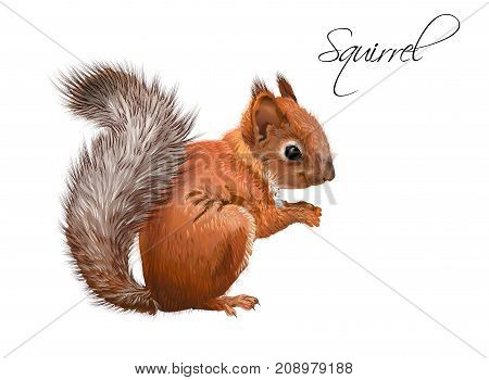 Vector realistic illustration of little cute squirrel isolated on white background. Winter design element for christmas, new year, sweets packaging. Can be used for greeting card, poster, web page