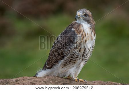 Full length portrait of a red tailed hawk perched on a rock and looking over its shoulder to the left