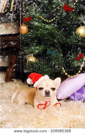 Cute chihuahua dog asleep under the christmas tree, new year card