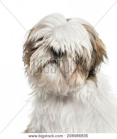 Close-up of a shih tzu, isolated on white