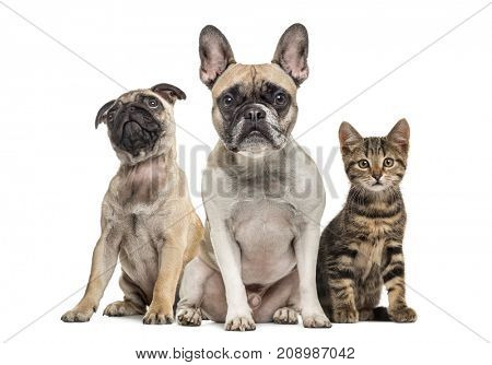 Group of dogs and cat sitting in a raw, isolated on white