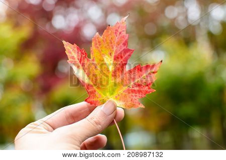 Beautiful autumn leaf, woman's hand holding up autumn leaf in sunlight with trees changing color in fall background photography for autumn poster or card with foliage leaf conceptual healthy lifestyle outdoor activity