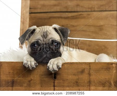 Dog, Close-up of a pug in a wooden chest, isolated on white